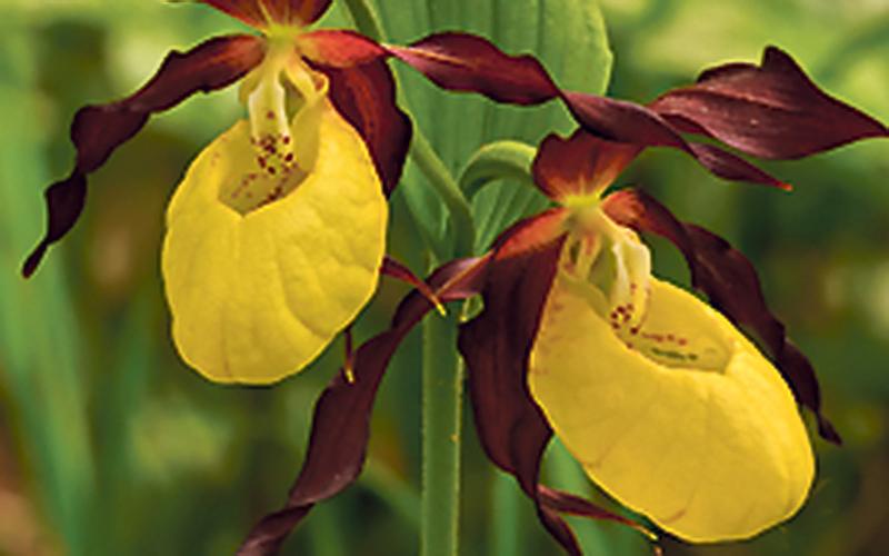 ТОП-10 растений, занесённых в Красную книгу