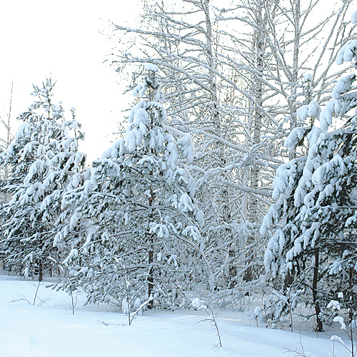 Минприроды НСО усилило охрану хвойных деревьев.