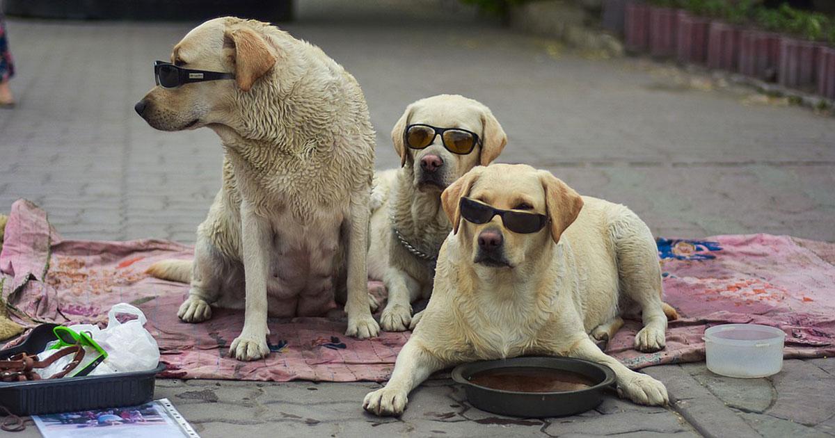 Зачем хозяин лабрадоров в солнцезащитных очках приводит собак к фонтану в Новосибирске