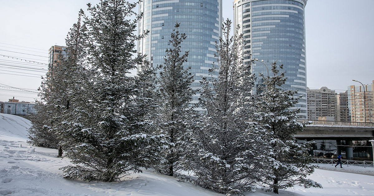 Новосибирские ёлочки обрабатывают вонючим раствором
