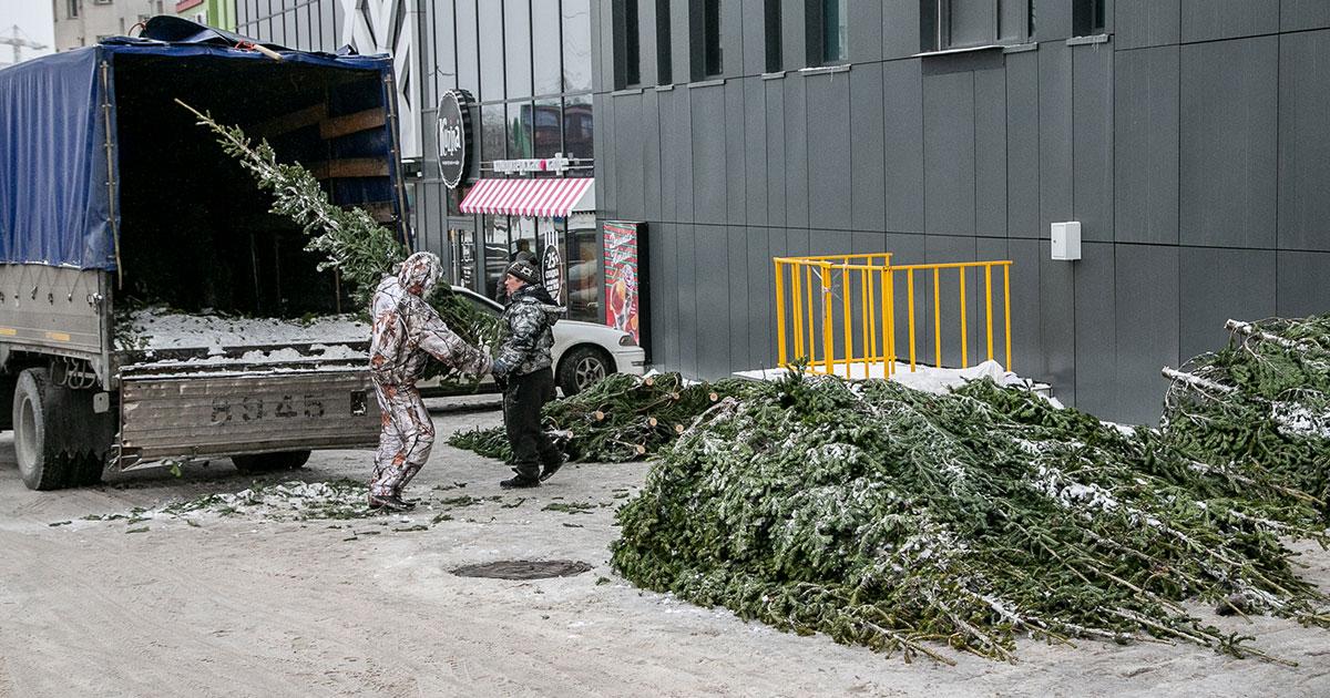 В Новосибирской области похитителей новогодних сосен и пихт строго накажут