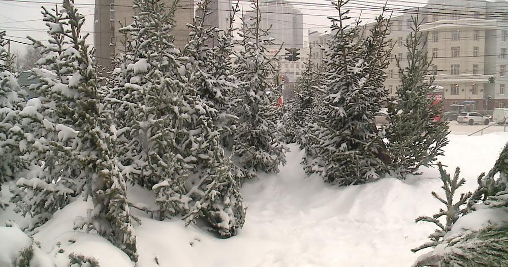 В Новосибирскую область впервые приехали новогодние ели из Дании