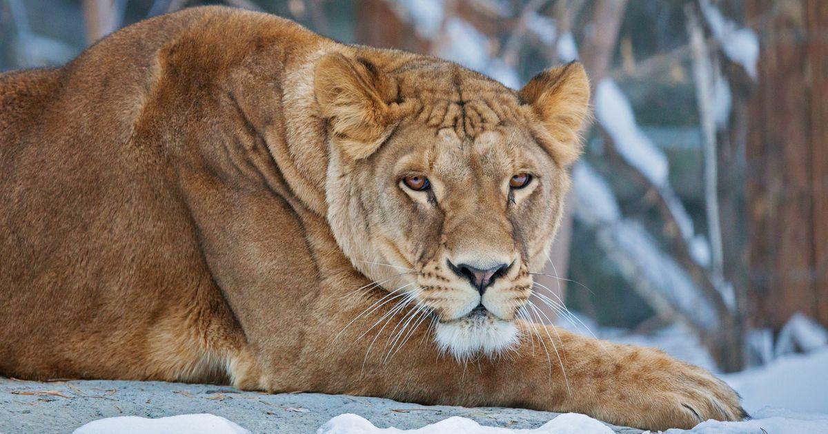 Лев Сэм в Новосибирском зоопарке справил новоселье и встретил любовь