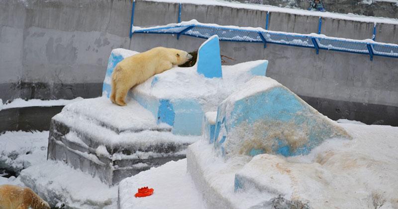 В новосибирском зоопарке от белых медведей спрятали еду