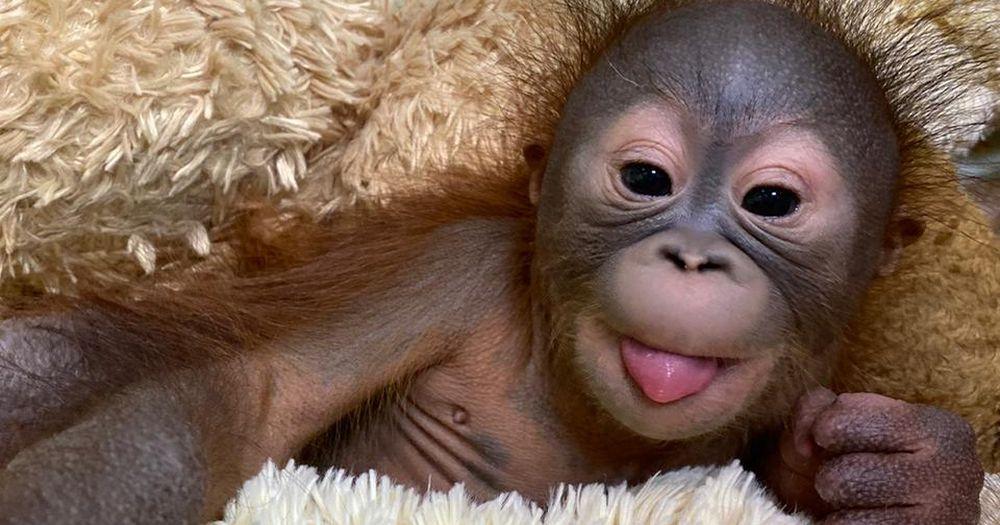 В Новосибирском зоопарке показали фотографии младенца-орангутана
