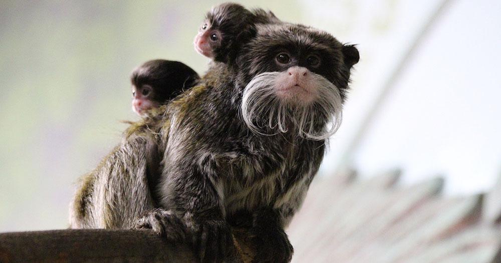 Тройня усатых обезьянок родилась в Новосибирском зоопарке