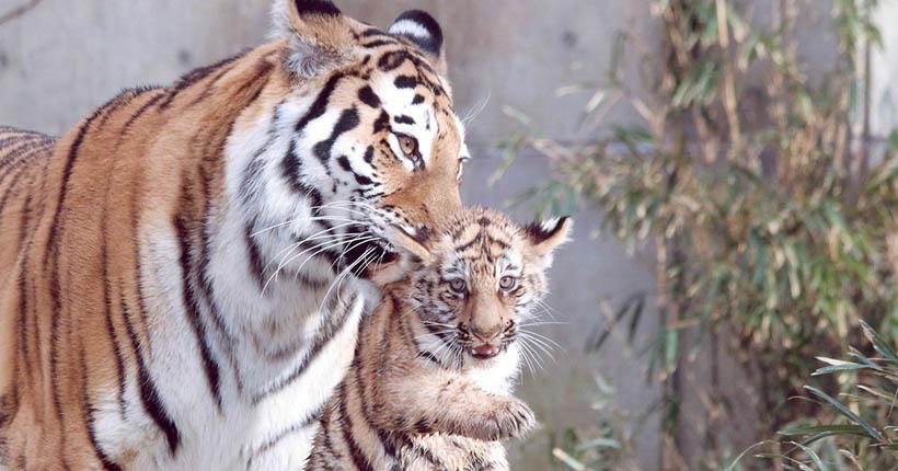 В Японии родились внуки тигров Новосибирского зоопарка