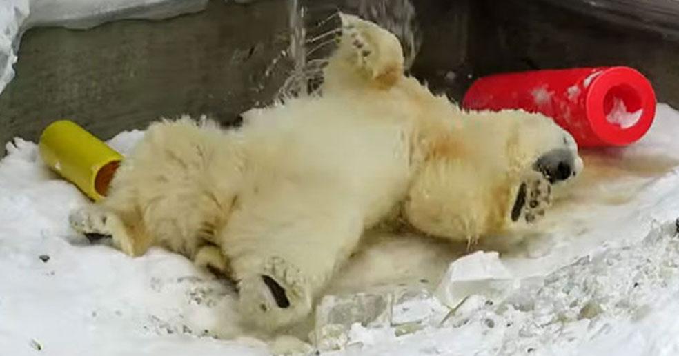 Новосибирские белые медведи пошли вплавь