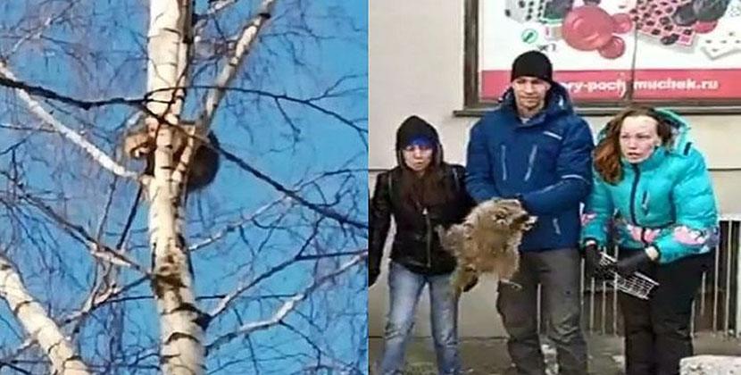 Как спасали Варю: сбежавшая енотиха застряла на берёзе в Бердске