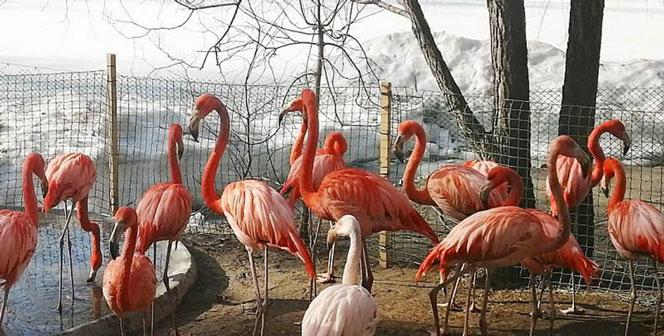 Фламинго из Новосибирска гуляют среди снегов и встречают свою первую весну