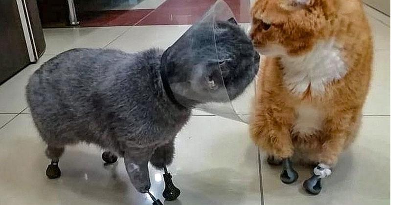 Коты с титановыми лапками познакомились в Новосибирске