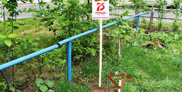 Десять юных дубков зазеленели в Новосибирске у дома ветерана войны