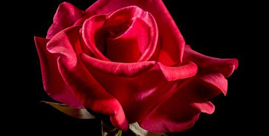 Новосибирец подарил любимой розу: чтобы её купить, он ограбил киоск