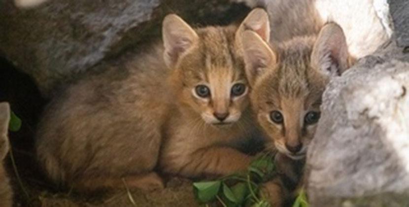 В Новосибирске камышовые котята вышли из укрытия