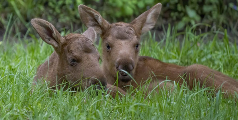 Новосибирский зоопарк показал своих лосят и козлят