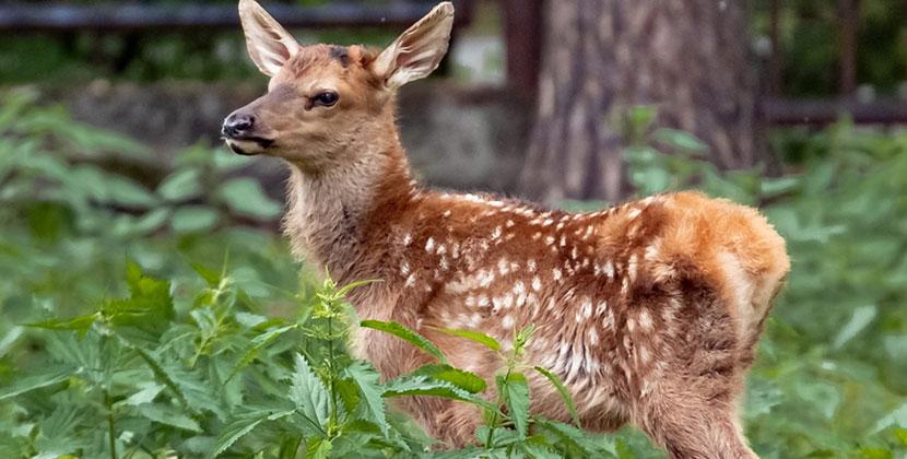 В Новосибирском зоопарке родились маралята
