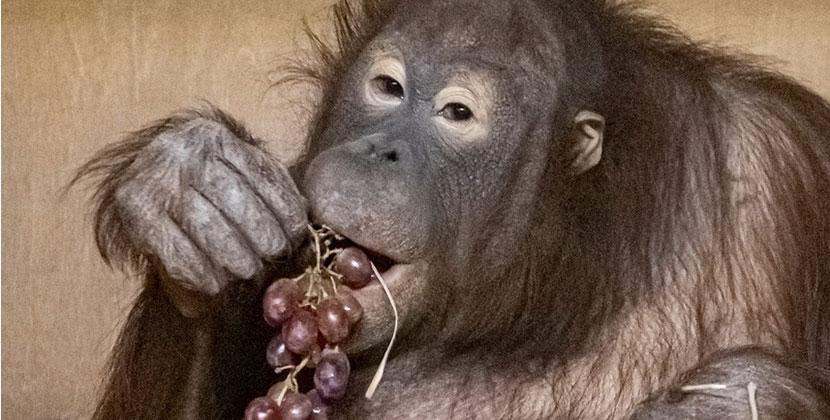 Красавице Мишель из Новосибирского зоопарка исполнилось 11 лет