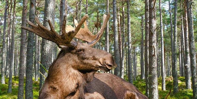 Застрелили лося: в Новосибирской области за незаконную охоту задержаны трое мужчин