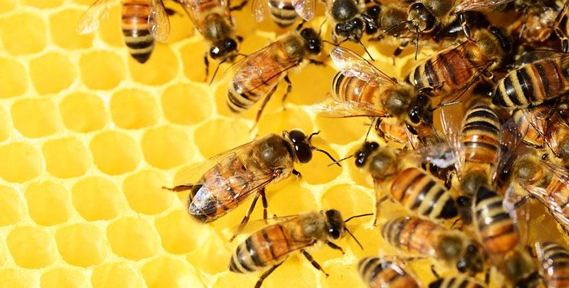 В одном из сёл Новосибирской области идёт массовый мор пчёл