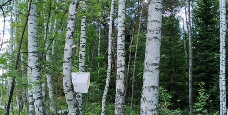 В Новосибирской области расставляют тысячи ловушек на разного рода усачей