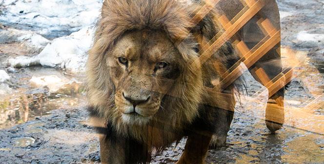 Поздравьте Сэма! Новосибирскому льву исполнилось 11 лет