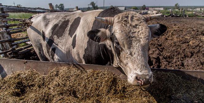Коровы Новосибирской области стали давать больше молока