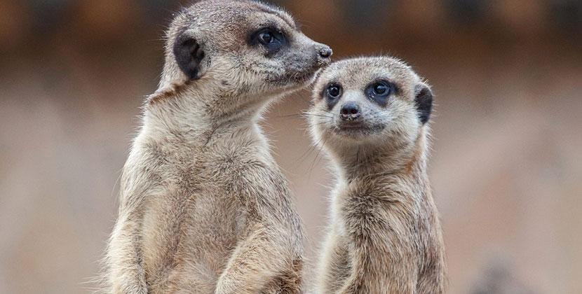 Новосибирский зоопарк празднует Всемирный день суриката 3 июля