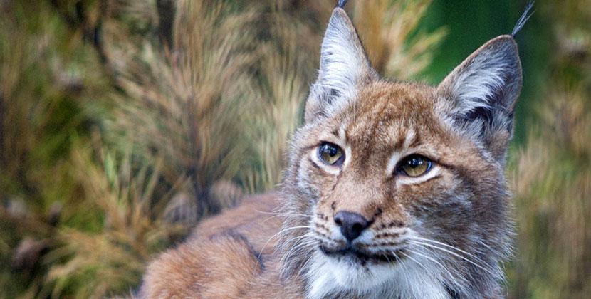 В Новосибирском зоопарке родились 220 рысят