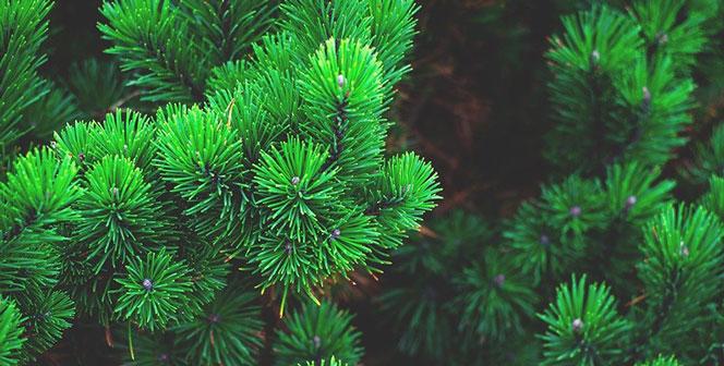 Более двух тонн семян лиственницы, сосны и ели посадили в питомниках Новосибирской области