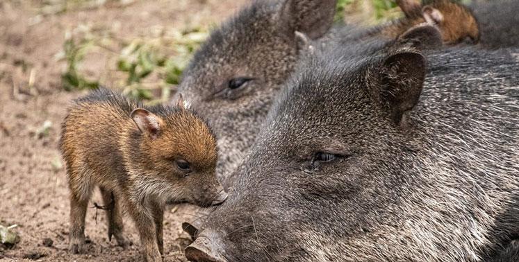 В Новосибирском зоопарке появились крошечные поросята-близнецы