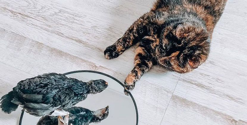 Синь синь дянь Черемша подружилась с кошкой Клементиной в обычной квартире Новосибирска