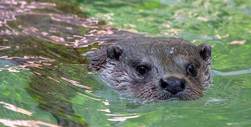 В Новосибирском зоопарке традиционно отметили День куницы