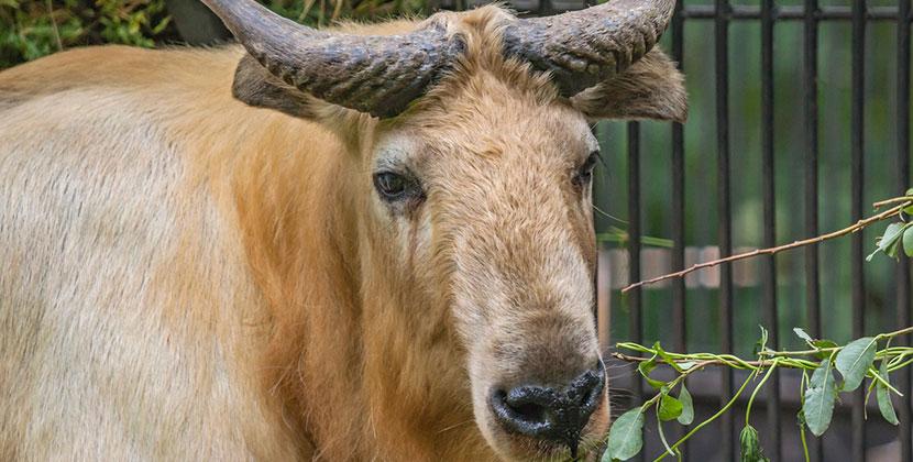 Впервые в России: в Новосибирском зоопарке поселились золотистые такины