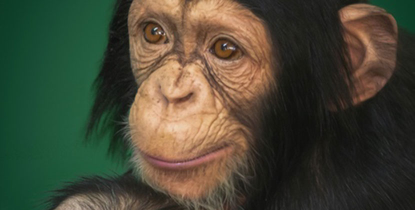 В Новосибирске 14 июля отмечают Всемирный день шимпанзе