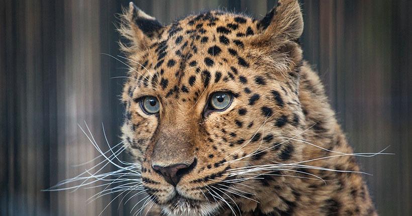 В Новосибирск приехал дальневосточный леопард Дава, сын знаменитого Николая