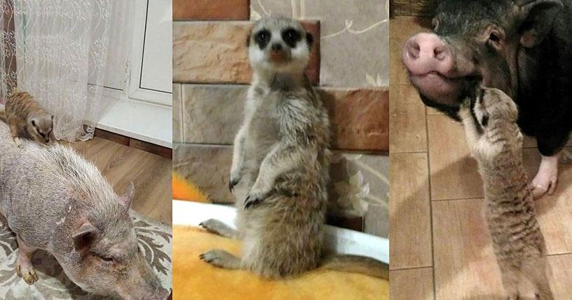 Пять мини-пигов и два суриката поселились в обычной квартире Новосибирска