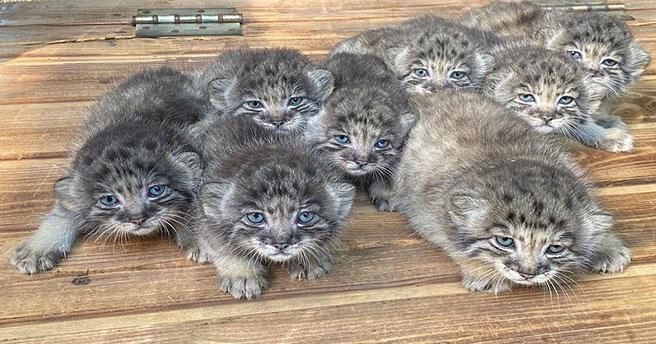 В Новосибирском зоопарке родились сразу восемь манулов