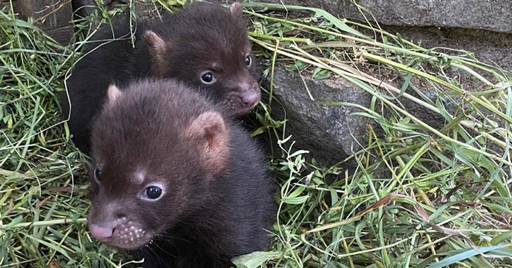 В Новосибирске родились детёныши самых необычных собак в мире