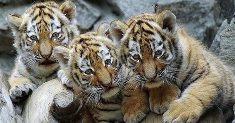 Новосибирский зоопарк отметил Международный день тигра и рассказал о своих подопечных