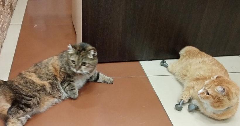 В Новосибирске кошке Василисе поставили титановые лапки и она вышла из депрессии