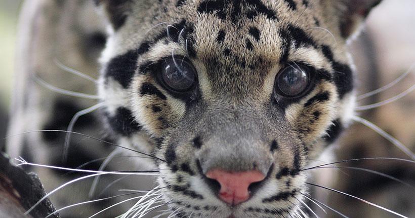 В Новосибирском зоопарке могут применить искусственное оплодотворения для разведения дымчатых леопардов