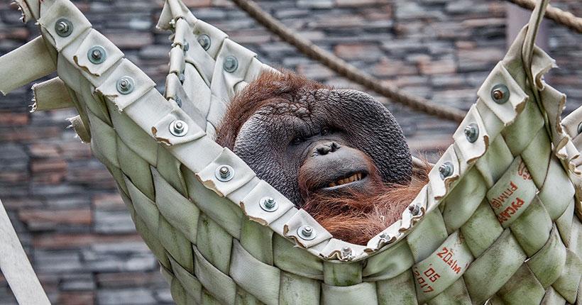 Звери Новосибирского зоопарка борются со скукой с помощью гамаков