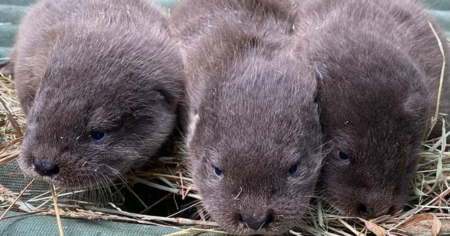 Миляги выдрята родились в Новосибирском зоопарке