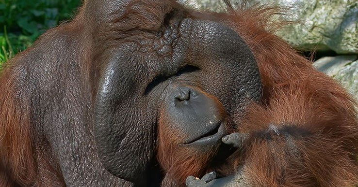 Умнейшему орангутану Бату из Новосибирского зоопарка исполнился 21 год
