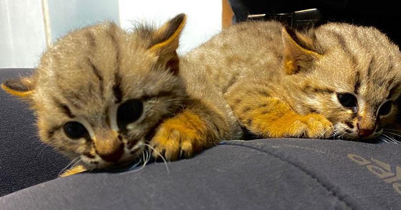 Котята редчайшего в мире вида впервые появились в Новосибирском зоопарке