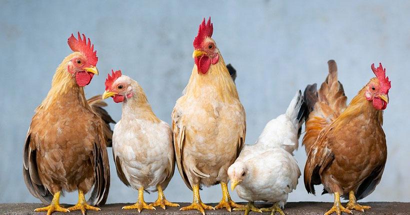 Угрожает ли Новосибирской области птичий грипп, свирепствующий в соседнем регионе?