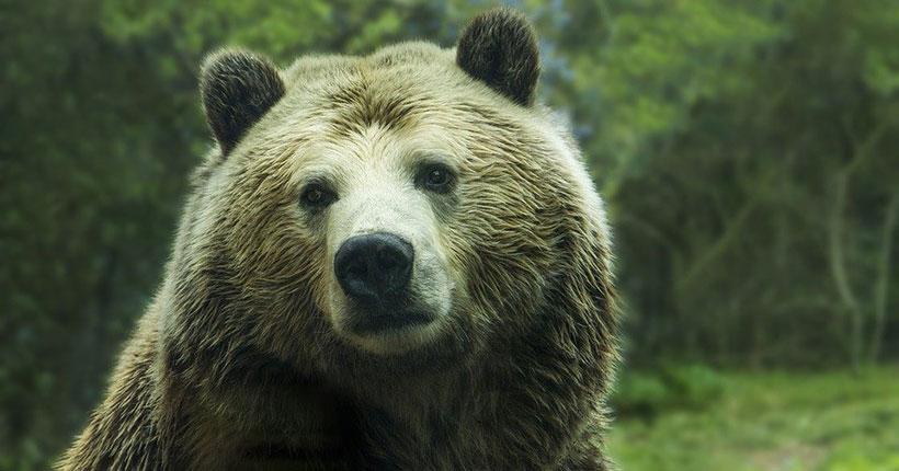 В Новосибирске с полицией ищут сбежавшего медведя