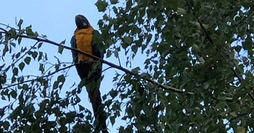 Жители Новосибирска были шокированы, увидев порхающего среди берёз гигантского попугая