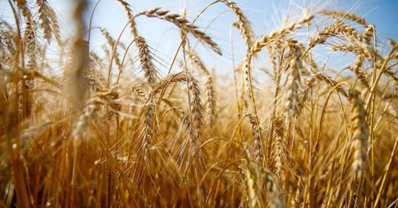 Первый миллион тонн зерна намолотили аграрии Новосибирской области