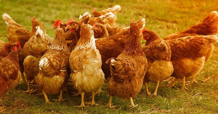 В Новосибирской области сохраняется вероятность заноса и распространения вируса птичьего гриппа